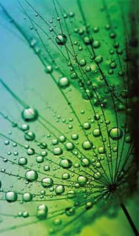 4018 Dandelion web