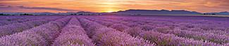 "Motiv ""Lavendelfeld"" (0456)"
