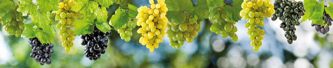 Grapes | 0421